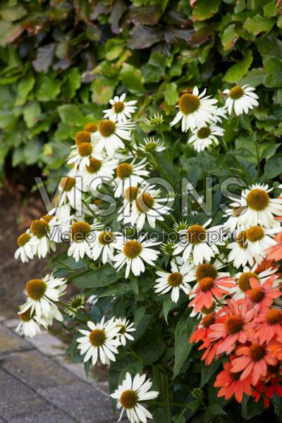 Echinacae Sombrero White