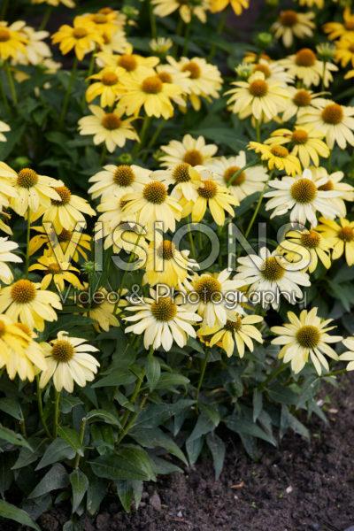 Echinacae Sombrero Yellow