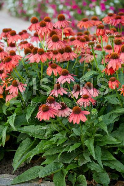 Echinacea Lakota™