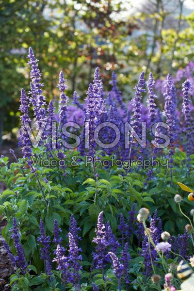Salvia Mystic Spires Blue