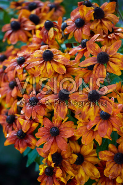 Rudbeckia hirta Mini Yellow Orange