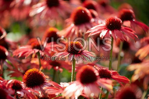 Echinacea Sombrero Sangrita