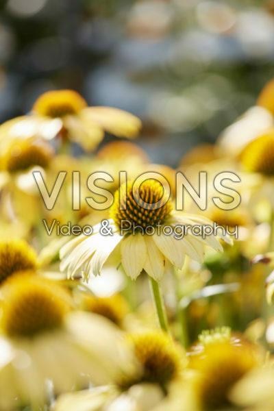 Echinacea Sombrero Poco Yellow