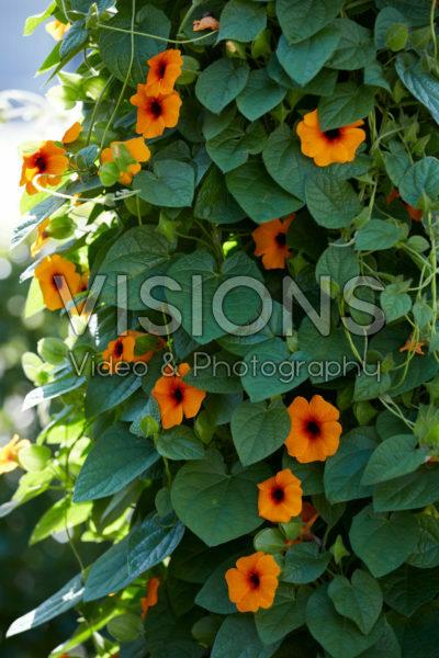Thunbergia SunEyes Orange Beauty