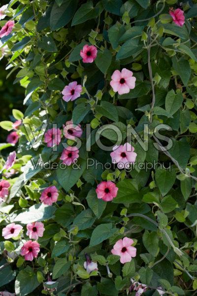 Thunbergia SunEyes Rose Sensation