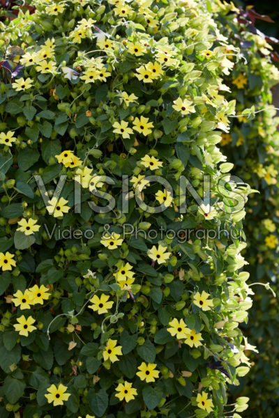 Thunbergia SunEyes Lemon Star