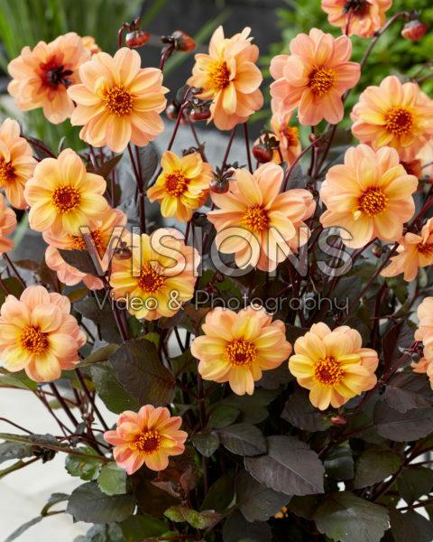 Dahlia Dahlightful Georgia Peach