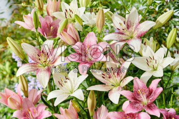 Lilium mixed