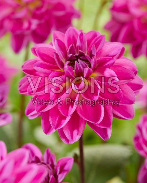 Dahlia Pacific wit lila
