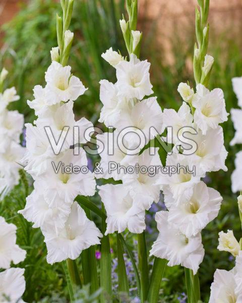 Gladiolus 0304303