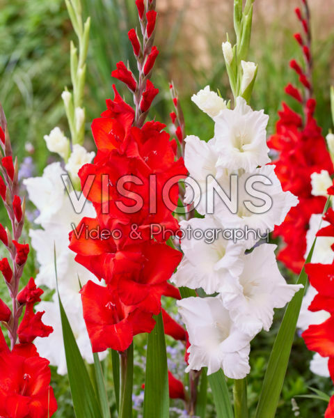 Gladiolus 0304303, Joska