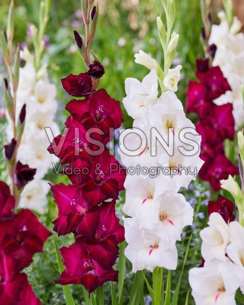 Gladiolus 0326203, 0315802