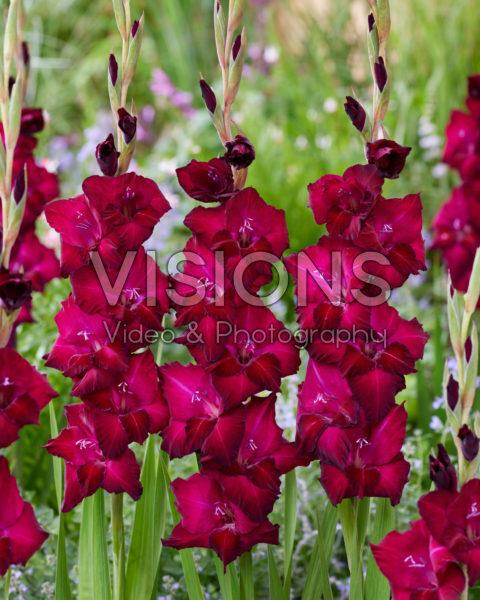 Gladiolus 0315802