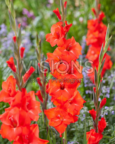 Gladiolus Fortuna Red