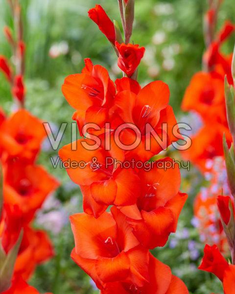 Gladiolus N52B