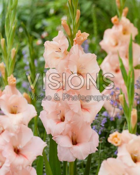 Gladiolus N49 Sweet Willy