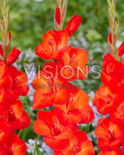 Gladiolus Coquette 0368050