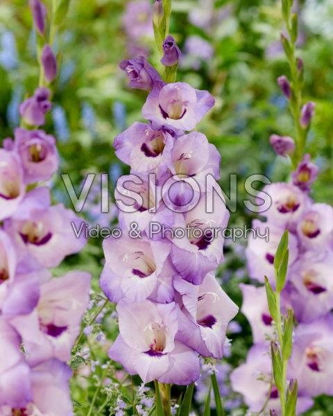 Gladiolus 0317001