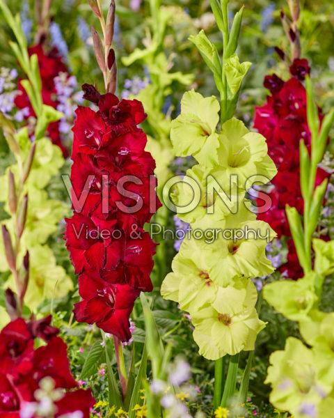 Gladiolus 0315101 Mikel, N28