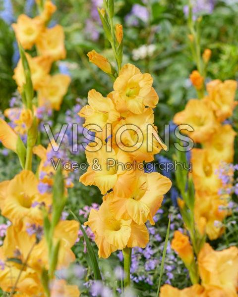 Gladiolus Z32725