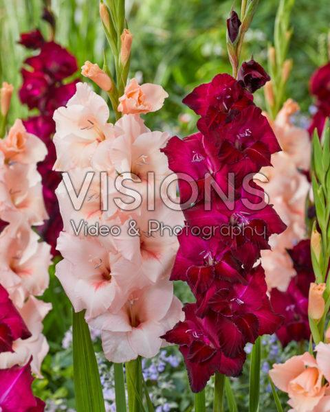 Gladiolus 0315802, N49 Sweet Willy