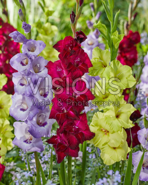 Gladiolus mixed