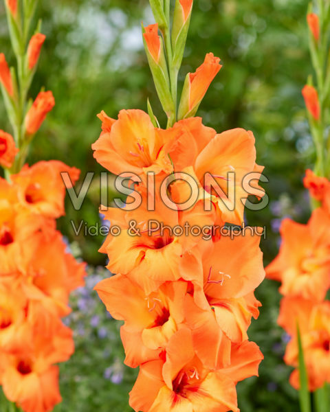 Gladiolus Prince of Orange