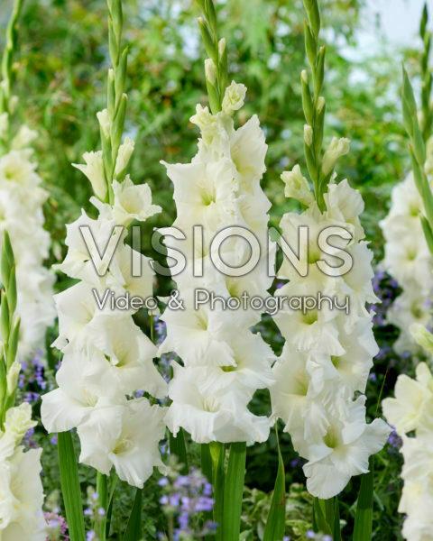 Gladiolus Serena