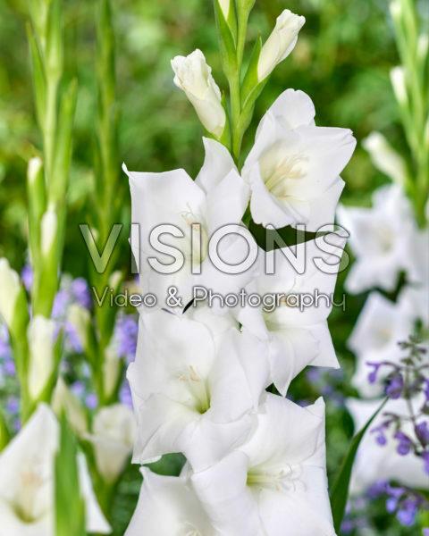 Gladiolus Snowboard