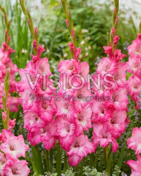 Gladiolus Violet King