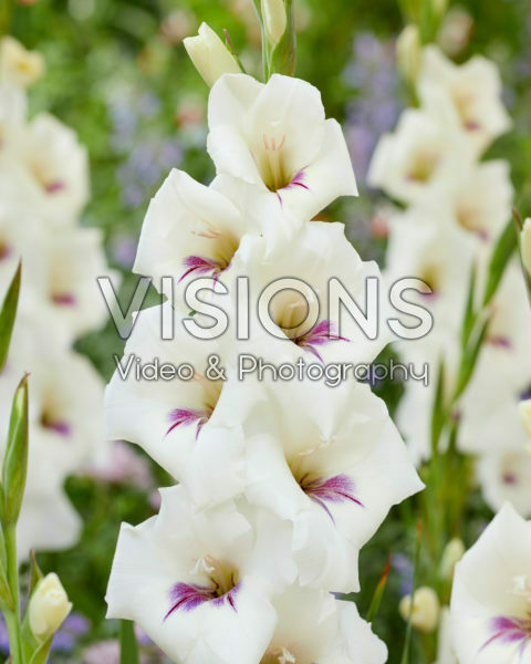 Gladiolus 0358506