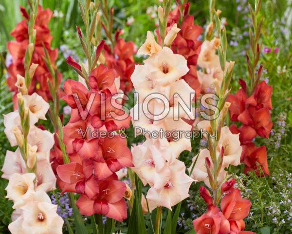 Gladiolus 0367908, 37110