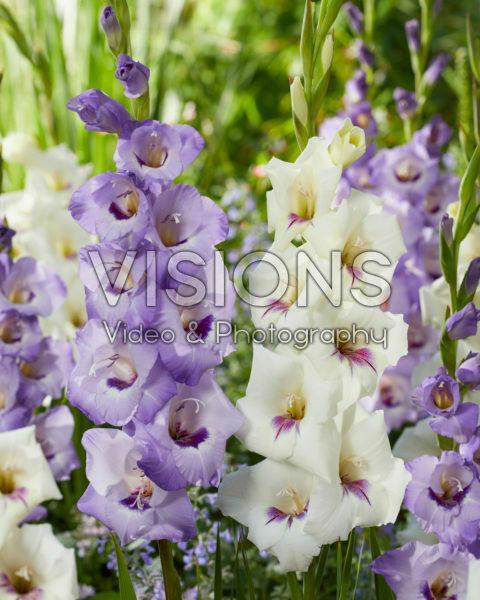 Gladiolus 0317001, 0358506