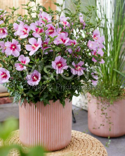 Hibiscus syriacus Samilhong