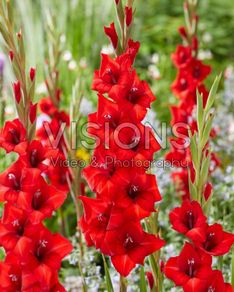 Gladiolus Tineke