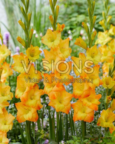 Gladiolus Sunglow