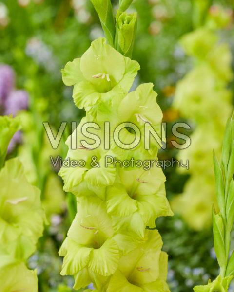 Gladiolus N31