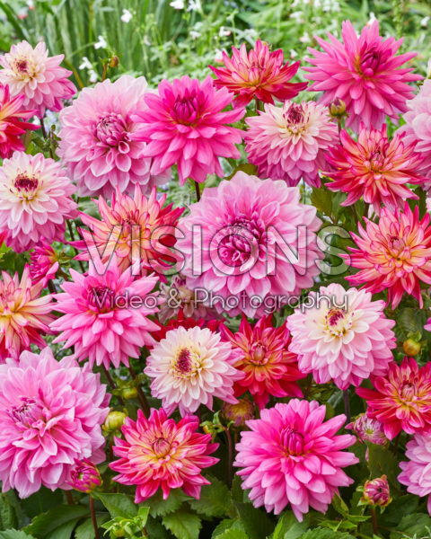Dahlia Pink Mix