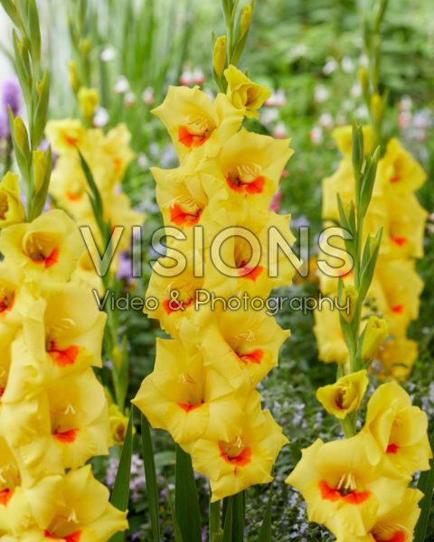 Gladiolus N96