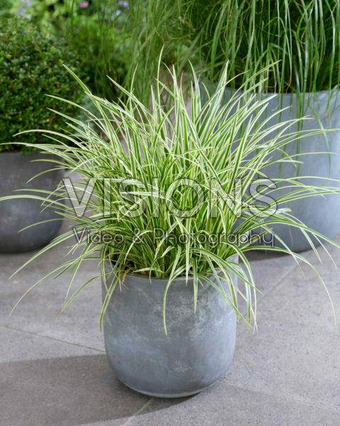 Carex morrowii Goldband
