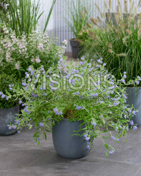 Caryopteris x clandonensis Worcester Gold Caryopteris x clandonensis Worcester Gold