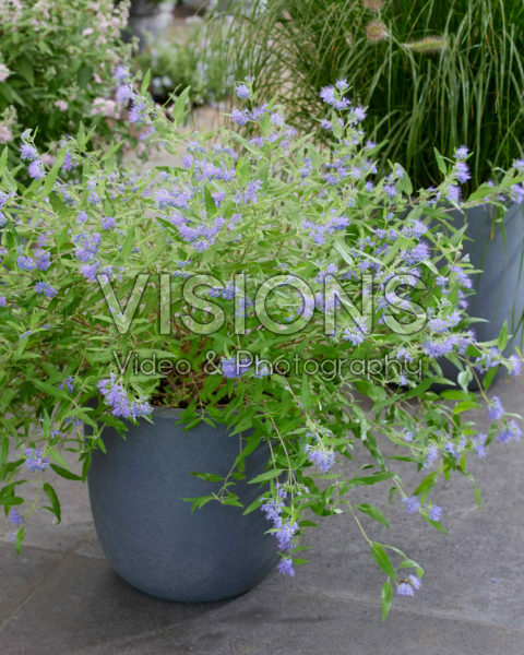 Caryopteris x clandonensis Worcester Gold