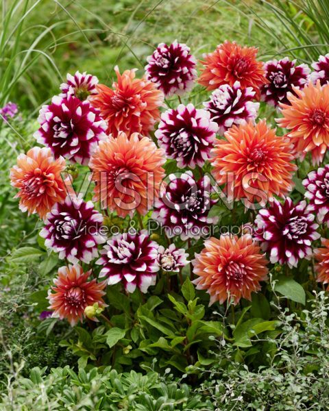 Dahlia Mystery Day, Color Spectacle