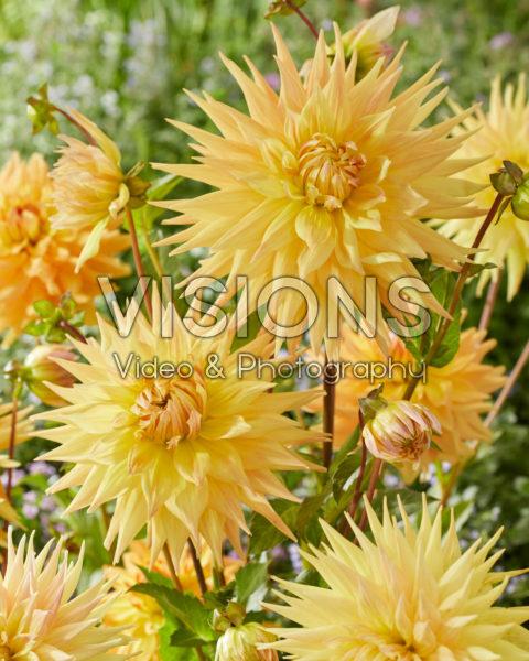 Dahlia Penhill Autumn Shade