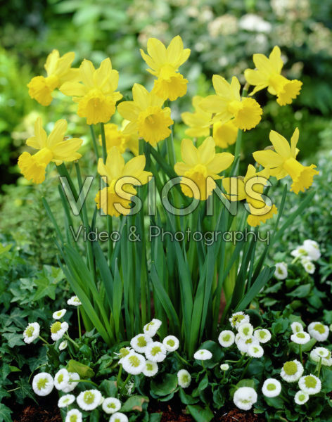 Narcissus Yellow Wings