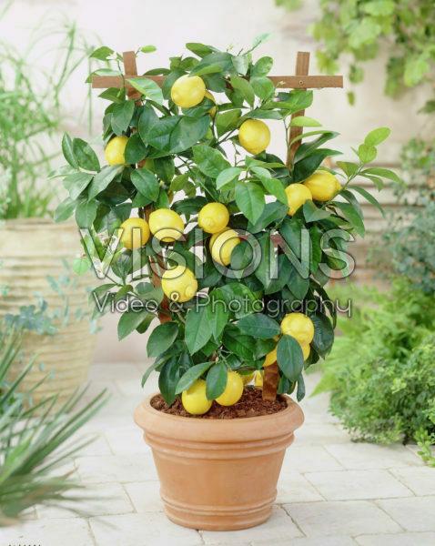 Citrofortunella lemon