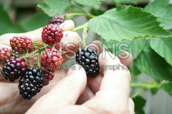 Hand picking blackberry