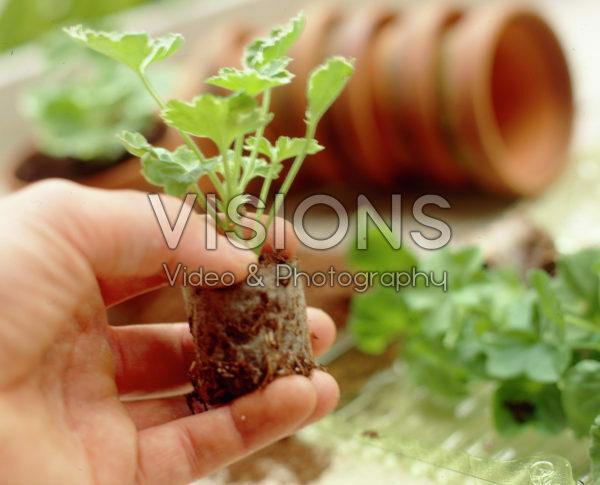 Pelargonium plug in hand