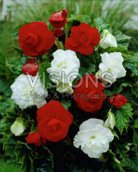 Begonia double red + white mixed