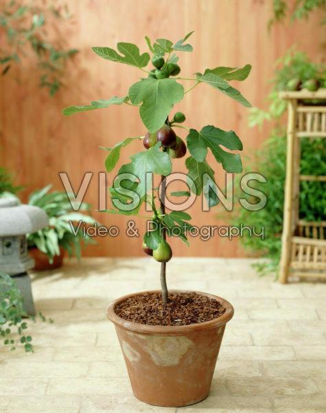 Ficus carica Violetta ®